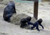 Knoxville Zoo's baby gorillas growing, drawing record crowds