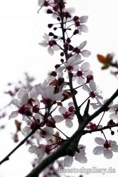 Weiße Blüten im Frühling - Äste und Zweige - Natur