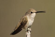 Female Costa's Hummingbird (doing that 'beak thing')