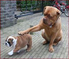 Pet the baby. English Bulldog and Bordeaux dog Mastiff Dogs, Bulldog Puppies, Cute Puppies, Dogs And Puppies, Doge, English Bulldog Pictures, English Bulldogs, Super Cute Animals, Fluffy Animals