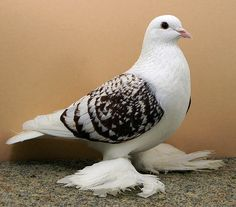 Black Old German Moorhead Rare Animals, Animals And Pets, Beautiful Birds, Animals Beautiful, Fantail Pigeon, Pigeon Cage, Pink Pigeon, Pigeon Pictures, Pigeon Breeds