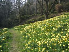 After his daughter died in 1847, William Wordsworth went down to the field between Rydal Mount and the main road, and planted hundreds of daffodils as a memorial to Dora.