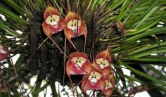 Dracula Orchid or monkey's