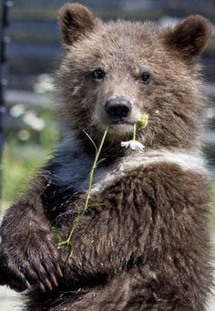 """Grizzly Bear """"Excuse me haven't you seen a bear with a flower in his mouth before? Nature Animals, Animals And Pets, Baby Animals, Funny Animals, Cute Animals, Baby Pandas, Wild Animals, Ours Grizzly, Grizzly Bears"""