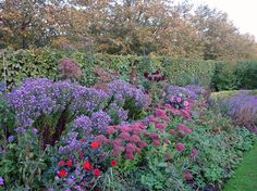 Regents Park flower beds in late summer filled with purple asters and sedum