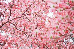 Cherry Blossom Trees.