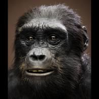 """Sahelanthropus tchadensis is one of the oldest known species in the human family tree...sometime between 7 and 6 million years ago in West-Central Africa (Chad). Apelike features included a small brain, sloping face, very prominent brow ridges, and elongated skull. Humanlike features included small canine teeth, a short middle part of the face, and a spinal cord opening underneath the skull instead of towards the back..."""