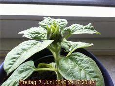 Webcam-Sonnenblume entwickelt sich prachtvoll.