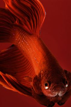 Bettas can grow up to two to 8 inches in length depending for Lifespan of a betta fish in captivity
