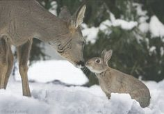 Photos of Bambi and Thumper a Fawn and Wild Rabbit-Truth!