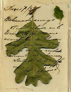 oak leaf on parchment
