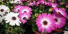 Osteospermum: Nádherná květina, která vám pokvete celé léto Plants, Cactus, Plant, Planets