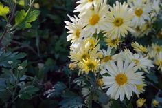 Chrysanthemum 'Gethsemane Moonlight' | a beautiful fall bloomer in the Ripley Garden
