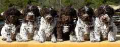 Lagotto Romagnolo Club of America - Looking for a Puppy
