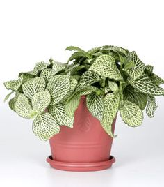Houseplant, grows in low light