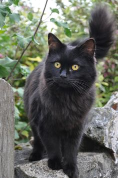 Gorgeous long-haired black kitty!