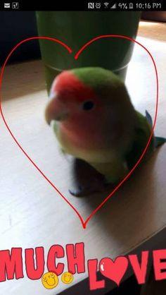 LOST LOVEBIRD: 2017-06-28 - Kitchener, Ontario, ON, Canada. Ref#: L32267 - #ParrotAlert #LostBird #LostParrot #MissingBird #MissingParrot #LostLovebird #MissingLovebird