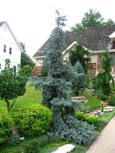 Front yard enterance.  Picea pungens 'Glauca Pendula' center foreground. Green conifers behind are Picea abies 'Reflexa' on left. Cupressus nootkatensis 'Green Arrow' to the right. Ginkgo biloba 'Spring Grove' after being planted 10 yrs  ago, probably 15 years old.