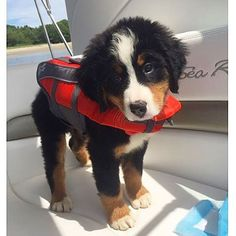 Dogs Bernese Mountain Dog Sharing is caring, don't forget to share ! Cute Funny Animals, Cute Baby Animals, Animals And Pets, Cute Baby Dogs, Cute Dogs And Puppies, Doggies, Burmese Mountain Dogs, Mountain Dog Breeds, Swiss Mountain Dog Puppy