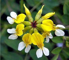 Rare Endangered Flowers - Bing Images