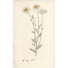 Sowerby antique 1799 hand-colored engraving, botany, Pl 602 Corn Chamomile