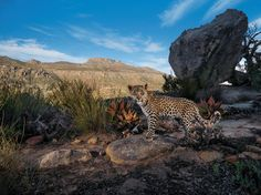A camera trap set in South Africa's Cederberg Wilderness records the steady gaze of a Cape leopard cub. Though not classified as a separate subspecies of leopard, these shy mountain cats are smaller than their savanna kin.