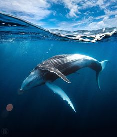 Really enjoyed today. I've spent the last couple of days sharing a boat with a lovely couple; Wayne and Pam. They have been shooting photos… Underwater Creatures, Underwater Life, Rettet Die Wale, Beautiful Creatures, Animals Beautiful, Whale Painting, Photo Animaliere, The Whale, Dolphins