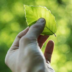 Buche oder Birke?   Was denkt ihr zu welcher Baumsorte gehört die Weissbuche?  Nein dieser Baum ist keine Buche sondern eine Birke. Verwirrend nicht?   Warum das so ist könnt ihr in unserem Blog nachlesen.  #technoramapark #technorama #weissbuche #hainbuche #birke Plant Leaves, Plants, Blog, Birch, Blogging, Plant, Planets