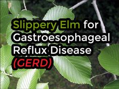 Slippery elm (Ulmus fulva), a species of elm native to North America, can be used as a natural remedy for GERD.