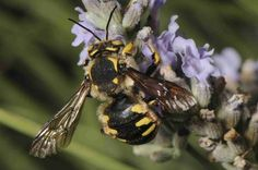 Wool carder bees can be seen here in North America too. Active especially near Stachys lanata, Lambs Ear