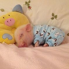 Animals Discover Today& share: pet pigs - Page 5 of 18 - Gloria Love Pets Cute Baby Pigs Cute Piglets Cute Babies Baby Piglets Baby Guinea Pigs Baby Animals Pictures Cute Animal Pictures Animals And Pets Funny Pig Pictures Cute Baby Pigs, Cute Piglets, Baby Animals Super Cute, Cute Little Animals, Cute Funny Animals, Baby Piglets, Little Pigs, Cutest Animals, Baby Teacup Pigs