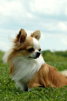 Beautiful Long Haired Chihuahua! Visit our Website: www.chichisandme.com for everything Chihuahuas
