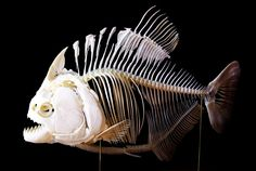 Piranhas Don't Eat Bananas / Book Week 2016. Piranha skeleton - use as a science lesson to look at their skeletal structure and why they are meat eaters!