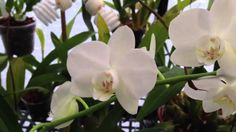 Orchid Care: How to cut off the old Phalaenopsis Orchid bloom spike and care tips for re-bloom it