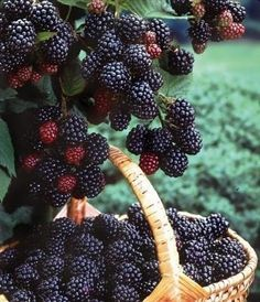 blackberries! they grow out of control, so plant them in a pot.