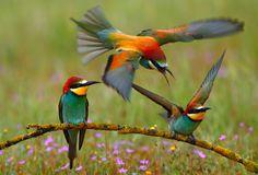 European Bee-eater (Merops apiaster) | image by Francisco Mingorance