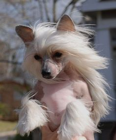 Olivera's Cresteds - Chinese Crested Dogs