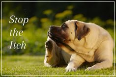 One of the biggest asks from dog owners is how do they stop their pet from constantly scratching. As a dogs skin is indicative of its overall health, constant itching and scratching is a symptom of an underlying problem. To rid a dog of this misery you have to identify the source of the problem to effectively treat it and prevent future recurrences. There are a wide range of causes that affect an itchy dog, and different ways of treating them.