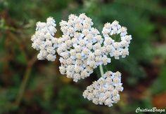 Mil-folhas – Achillea millefolium - Herbacea com flores minúsculas, brancas ou rosadas ...