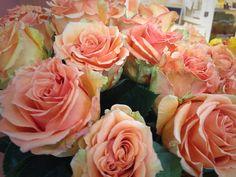 Cosima rose from South America
