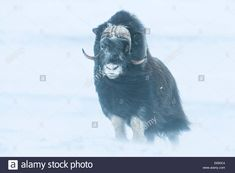 Download this stock image: Musk Ox or Muskox (Ovibos moschatus), Dovrefjell–Sunndalsfjella National Park, Norway - E650C4 from Alamy's library of millions of high resolution stock photos, illustrations and vectors.