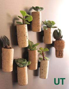 Use leftover corks to create mini succulent planters. Attach magnets and hang them on your fridge.