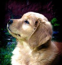 Beautiful Golden puppy
