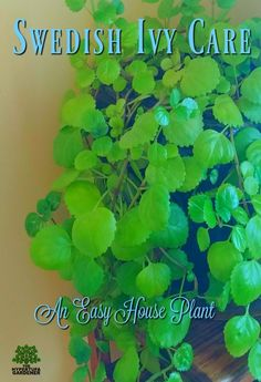 """Simple & Easy Houseplant - Swedish Ivy Care Its official name is Plectranthus australis. Swedish Ivy care is so easy that this could be a """"beginner plant"""" if you are in your first stages of getting addicted to plants and gardening. House Tree Plants, Common House Plants, Easy House Plants, Trees To Plant, Ivy Houseplant, Ivy Plants, Foliage Plants, Houseplants, Shade Plants"""