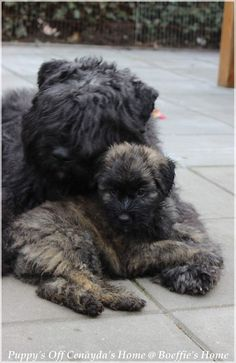 Bouvier des Flandres mother and pup