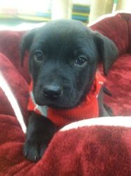 Parker: Black Labrador Retriever, Dog; Waterford, MI