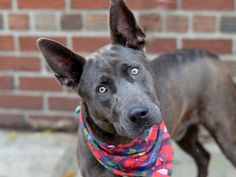SAFE 12/12/14!  Was TO BE DESTROYED - 12/12/14 Brooklyn Center -P  My name is DAVINCI. My Animal ID # is A1021328. I am a male br brindle and white dutch shepherd and pit bull mix. The shelter thinks I am about 1 YEAR 1 MONTH old.   For more information on adopting from the NYC AC&C, or to  find a rescue to assist, please read the following: http://urgentpetsondeathrow.org/must-read/