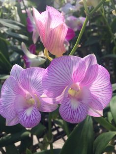 Thailand orchids (Wil 20)