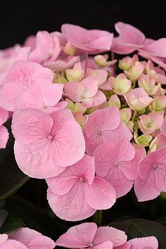 Hydrangea La Vie en Rose =) by khanittha Hortensia Hydrangea, Hydrangea Macrophylla, Hydrangea Flower, My Flower, Amazing Flowers, Pink Flowers, Beautiful Flowers, Beautiful Beautiful, Henri Matisse