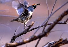 Pics For > Quail Bird Flying